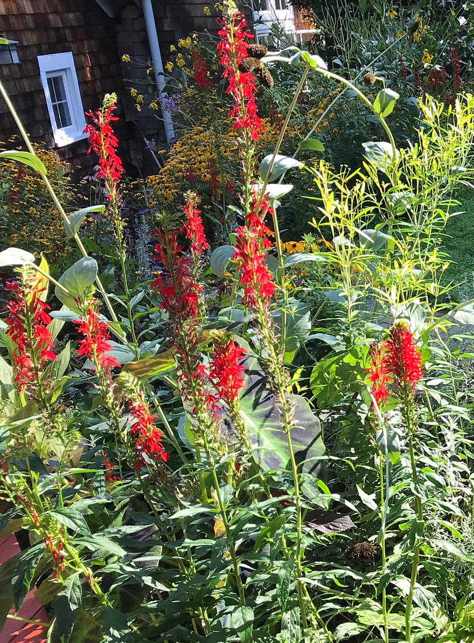 Cardinal Plant in Garden for website.jpg