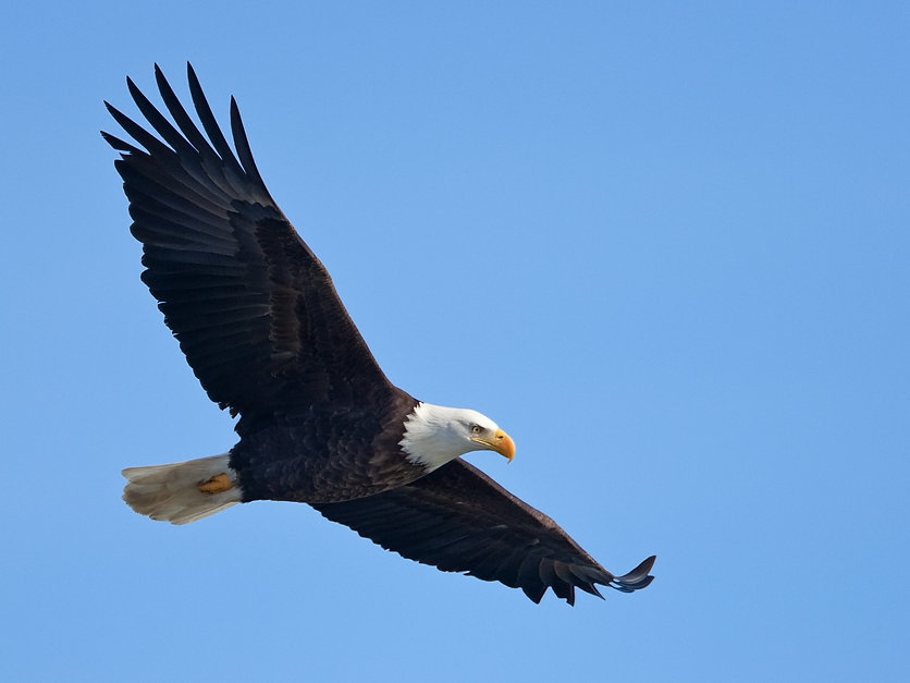 Bald eagle in flight (clipping path incl