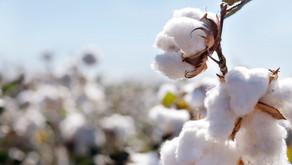 India's COVID Crisis May Lead to Future Cotton Shortage