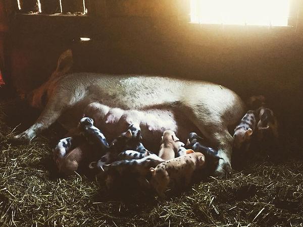 Pork, Pigs, Pigletts