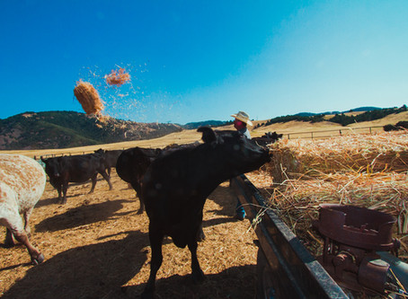 Late Summer's Season - Weaning Calves