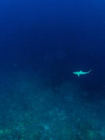 Shark in the Blue.jpg