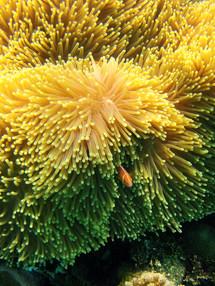 Anemone fish peaking out.jpg
