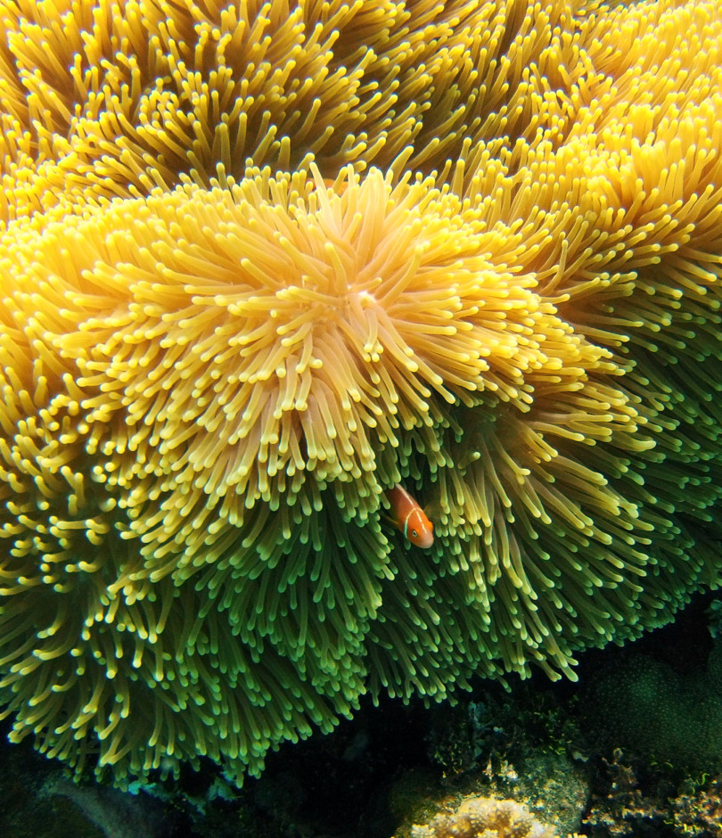 Anemone fish peaking out.jpg