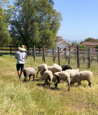 Toph leading the sheep to their next block