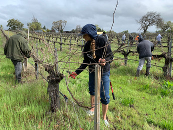 Pruning the old vine Syrah with some help