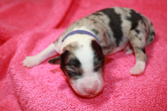 Mitzi: Blue Merle Female #5