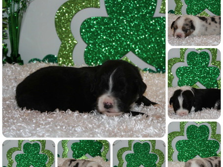 Miss Reckon puppies celebrate               St. Patricks Day