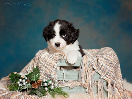 Dezi & Monty Puppies 6 Weeks
