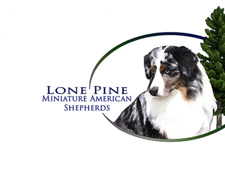Welcome to Lone Pine's Miniature American Shepherd Blog