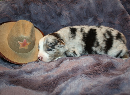 Skyla & Maverick Puppies 2 Weeks Old
