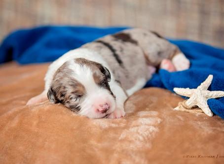Miss Reckon & Levi Puppies DOB July 8th, 2018