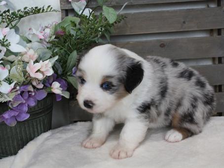 Darby & Sailor Puppies 4 Weeks