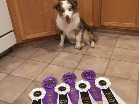 UKC Champion Beri adds more Best Of Breed wins to her tally.
