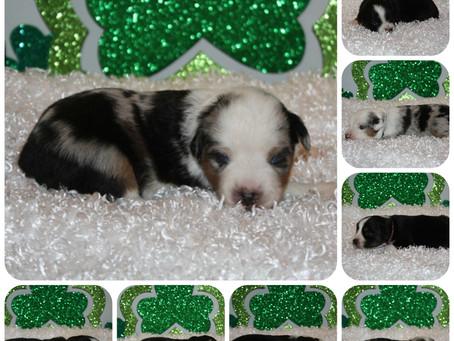Lexi puppies celebrate St. Patricks Day