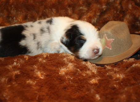 Darby & Sailor Puppies 2 Weeks Old
