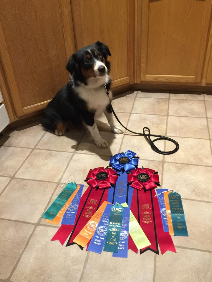 Lexi and her UKC ribbons