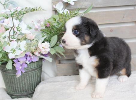 Skyla & Maverick Puppies 4 Weeks