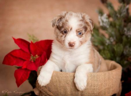 Reckon puppies 6 weeks old