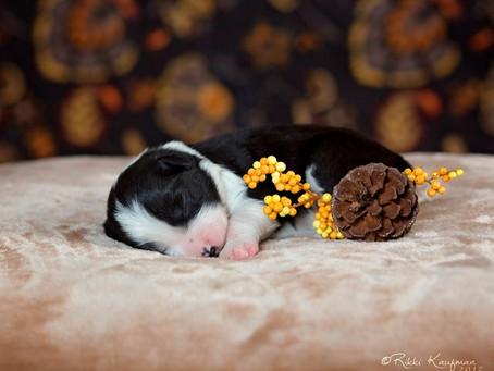 Dezi x Monty puppies 1 week