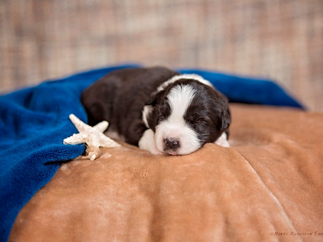 Dezi & Monty puppies DOB July 7th, 2018