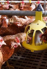 poulet industriel mangeoire officiel.jpg