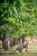 Bowen Mango Trees Wallabies01.jpg