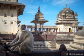 Langur Monkey in Orchha Palace