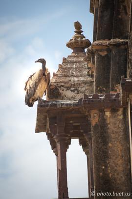 Vultur of Orchha Sharma Dharamsh