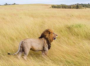 Heftiger Löwe