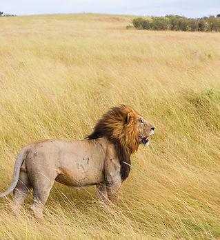 Lion féroce