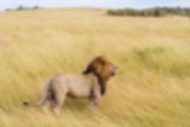 Fierce Lion