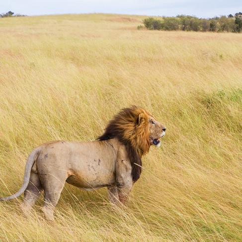 ¿Eres un león con sed? Pues ya sabes, bebe agua