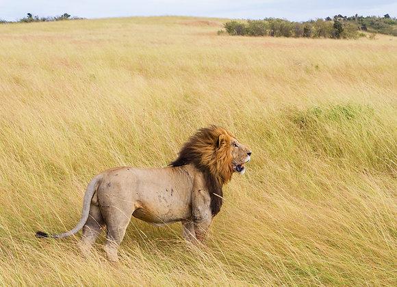 הזמנה ותשלום עבור סיפור - נמלה קטנה והמלך אריה