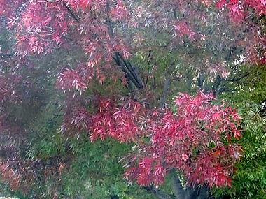 201029-Arbre rouge.jpg
