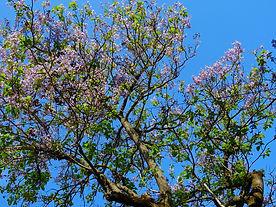 Sorguette arbre.jpg