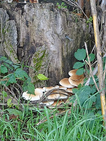 champignon blancs.jpg
