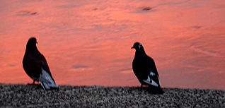 Barthelasse pigeons s.jpg