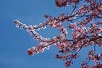 090313-CerisierRdupetitgrenier1.jpg