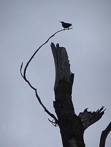 Oiseau estampe s.jpg