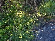 Piot flore 4.jpg