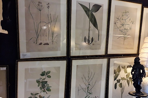 19th century botanical lithographs in hogarth frames