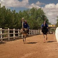 Ostrich racings.jpg
