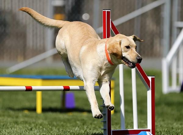 dog sport.webp