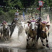 bull racing.jpg