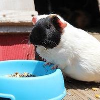Guinea pig breeding.jpg