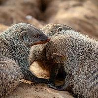Wild animals as pets.jpg
