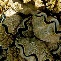 Giant clams breeding.jpg