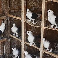 Pigeon breeding.jpg