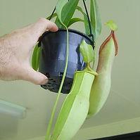 pitcher plant.jpg